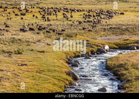 flock of sheep and goats grasing near a river, Kyrgyzstan, Kochkor - Stock Photo