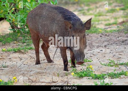 Sri Lankan Wild Boar (Sus scrofa affinis, Sus affinis), female, Sri Lanka, Yala National Park - Stock Photo