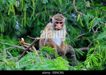 toque macaque (Macaca sinica), sitting on a branch, Sri Lanka, Bundala National Park - Stock Photo