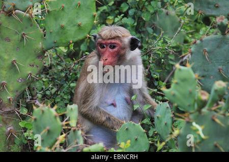 toque macaque (Macaca sinica), sitting in a brier between opuntias, Sri Lanka, Bundala National Park - Stock Photo