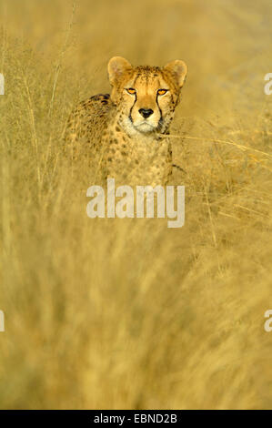 cheetah (Acinonyx jubatus), standing on dried grass in evening light, Namibia, Etosha National Park - Stock Photo