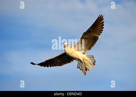Cape gull, Kelp gull (Larus dominicanus vetula, Larus vetula), juvenile gull in flight, South Africa, Western Cape - Stock Photo