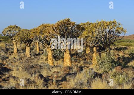 Kokerboom, Quivertree, Quiver Tree (Aloe dichotoma), in evening light, Namibia, Keetmanshoop - Stock Photo