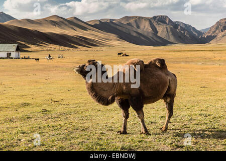 Bactrian camel, two-humped camel (Camelus bactrianus), standing in steppe, Kyrgyzstan, Naryn - Stock Photo