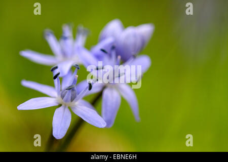 twin-leaf squill (Scilla bifolia), inflorescence, Germany - Stock Photo