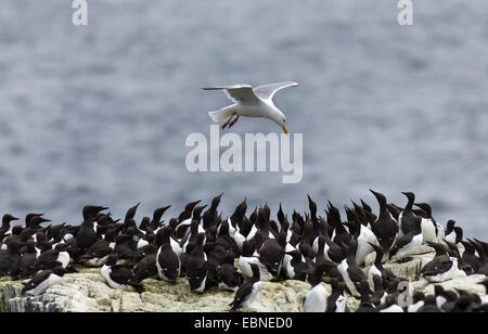 herring gull (Larus argentatus), flying over breeding colony of common guillemots, United Kingdom, England, Northumberland, - Stock Photo