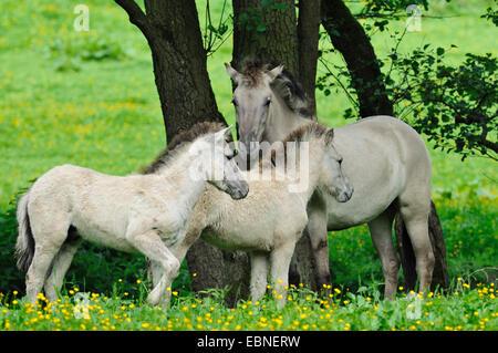 Tarpan (Equus ferus gmelini, Equus gmelini), back breeding attempt of the extinct wild horse subspecies by crossing - Stock Photo