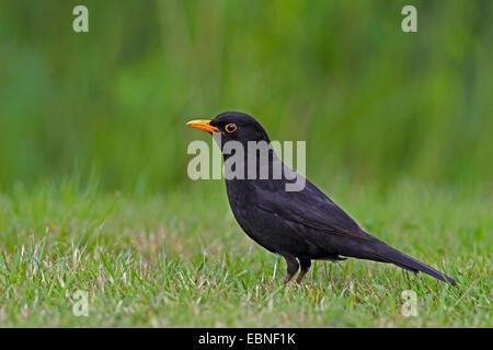blackbird (Turdus merula), male standing in a meadow, Netherlands, Frisia - Stock Photo