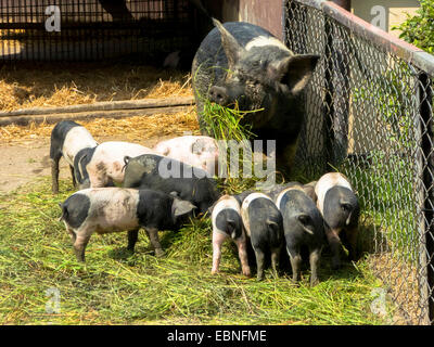 Angeln Saddleback, Angler Sattelschwein  (Sus scrofa f. domestica), sow with piglets when feeding - Stock Photo