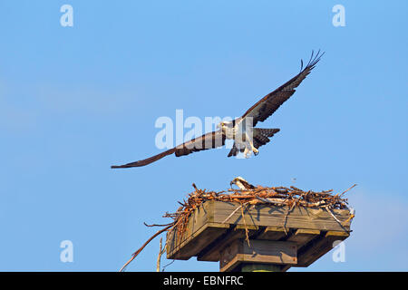 osprey, fish hawk (Pandion haliaetus), male is flying off from the nest, USA, Florida - Stock Photo