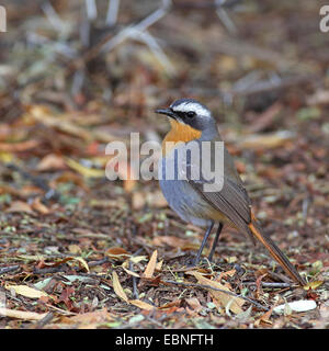 Cape robin chat (Cossypha caffra), standing on the ground, South Africa, Augrabies Falls National Park - Stock Photo
