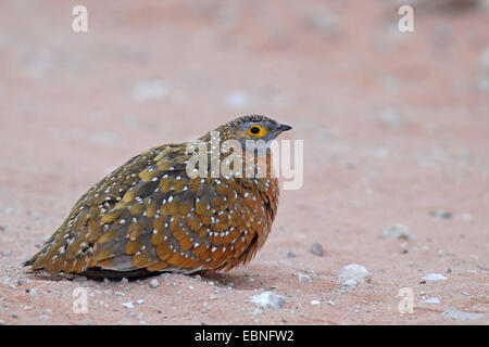 Variegated sandgrouse, Burchell's sandgrouse (Pterocles burchelli), male sitting in the sand, South Africa, Kgalagadi - Stock Photo