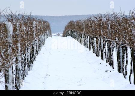 grape-vine, vine (Vitis vinifera), vineyard in winter, Austria, Lower Austria, Weinviertel - Stock Photo