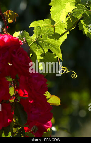 grape-vine, vine (Vitis vinifera), roses and vine in sunshine, Austria - Stock Photo