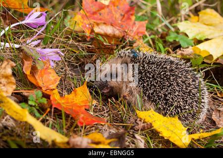 Western hedgehog, European hedgehog (Erinaceus europaeus), young hedgehog in food intake in autumn, Switzerland, - Stock Photo