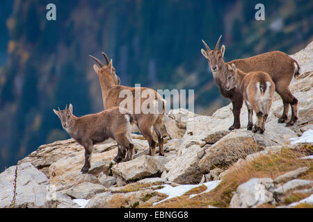 Alpine ibex (Capra ibex, Capra ibex ibex), females with their young animals in autumn, Switzerland, Toggenburg, - Stock Photo