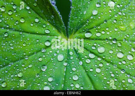 lady's mantle (Alchemilla spec.), rain drops on leaf of lady's mantle, Germany, Bavaria, Oberbayern, Upper Bavaria - Stock Photo