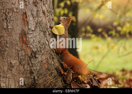 European red squirrel, Eurasian red squirrel (Sciurus vulgaris), climbing at a tree trunk with a nut in the mouth, - Stock Photo