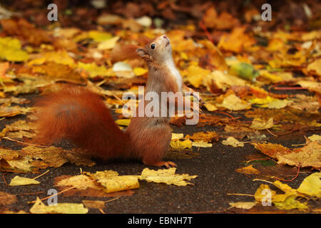 European red squirrel, Eurasian red squirrel (Sciurus vulgaris), standing on the hind legs and looking up, Germany, - Stock Photo