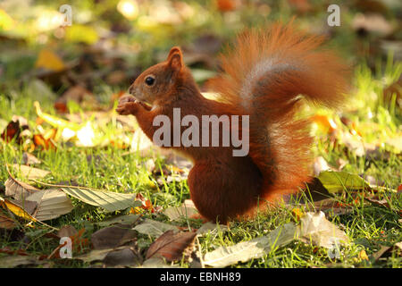 European red squirrel, Eurasian red squirrel (Sciurus vulgaris), sitting on the ground and eating, Germany, Saxony - Stock Photo