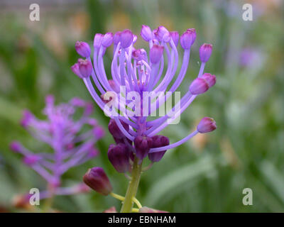 Feather hyacinth (Muscari comosum), inflorescence, sterile flowers - Stock Photo