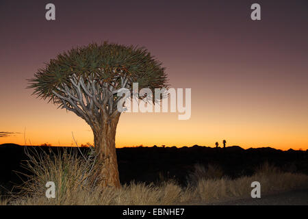 Kokerboom, Quivertree, Quiver Tree (Aloe dichotoma), Quivertree after sunset , South Africa, Augrabies Falls National - Stock Photo
