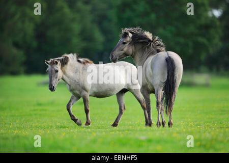 Tarpan (Equus ferus gmelini, Equus gmelini), two Tarpans in a meadow, Germany - Stock Photo