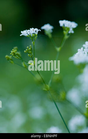 dyer's woodruff (Asperula tinctoria), blooming, Germany - Stock Photo