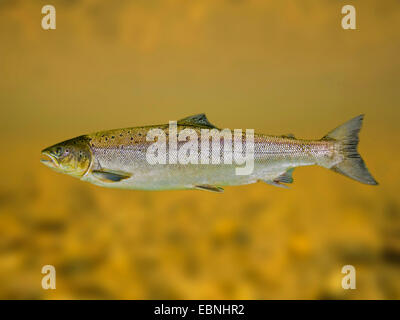 Atlantic salmon, ouananiche, lake Atlantic salmon, landlocked salmon, Sebago salmon (Salmo salar), grilse - Stock Photo