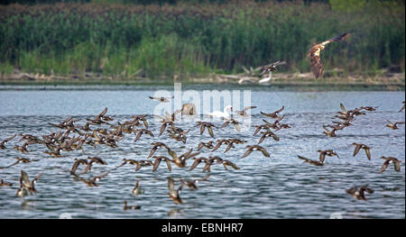 Western Marsh Harrier (Circus aeruginosus), hunting Eurasian Teals, Germany, Bavaria, Lake Chiemsee - Stock Photo
