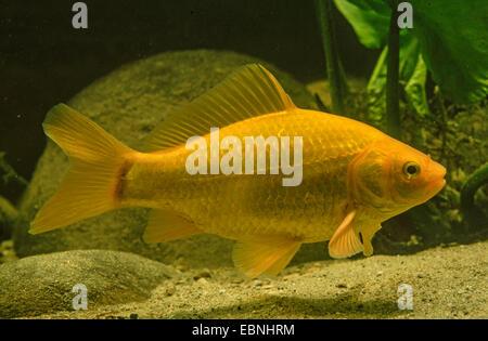 goldfish, common carp (Carassius auratus), swimming - Stock Photo