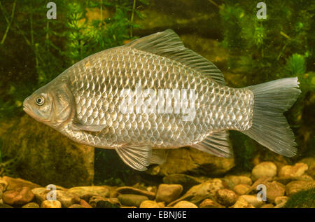 gibel carp, Prussian carp, German carp, Crucian carp (Carassius auratus gibelio), swimming, Germany - Stock Photo