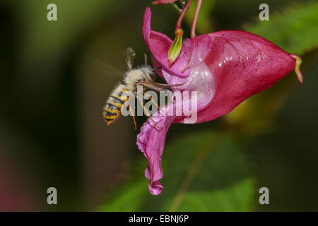 common wasp (Vespula vulgaris, Paravespula vulgaris), infected with mould, suckling nectar an a touch-me-not flower, - Stock Photo