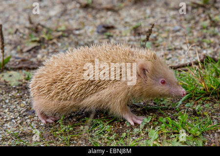 Western hedgehog, European hedgehog (Erinaceus europaeus), albino, Germany - Stock Photo