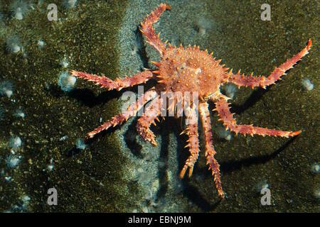 Northern stone crab, King crab (Lithodes maja, Lithodes maja, Lithodes arctica), on a stone with sea anemones - Stock Photo