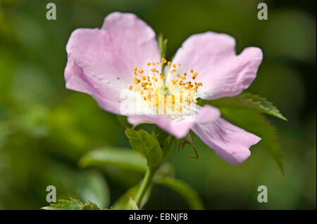 dog rose (Rosa canina), flower, Germany - Stock Photo
