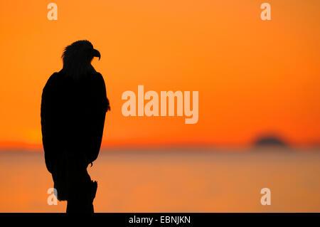 American bald eagle (Haliaeetus leucocephalus), silhouette of an eagle at sunset, Mount Iliamna in the background, - Stock Photo