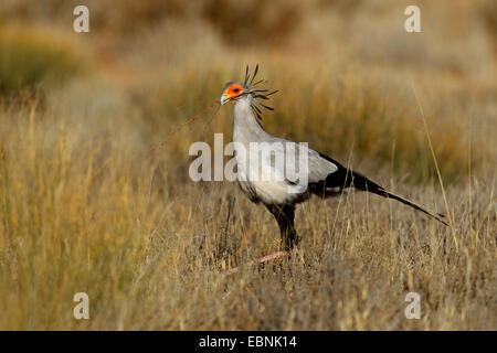 secretary bird, Sagittarius serpentarius (Sagittarius serpentarius), walking through grassland and looks for nesting - Stock Photo