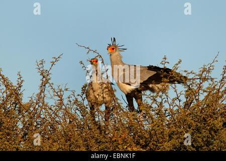secretary bird, Sagittarius serpentarius (Sagittarius serpentarius), pair standing on the nest in a thornbush, South - Stock Photo