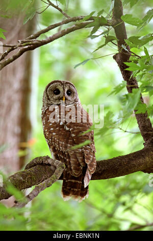barred owl (Strix varia), sitting in a tree , USA, Florida, Corkscrew Swamp - Stock Photo