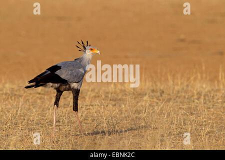 secretary bird, Sagittarius serpentarius (Sagittarius serpentarius), standing on the ground, South Africa, Kgalagadi - Stock Photo