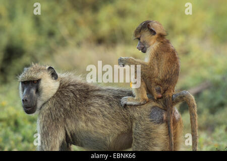 yellow baboon, savannah baboon, anubius baboon, olive baboon (Papio anubis, Papio cynocephalus anubis), baboon mother - Stock Photo