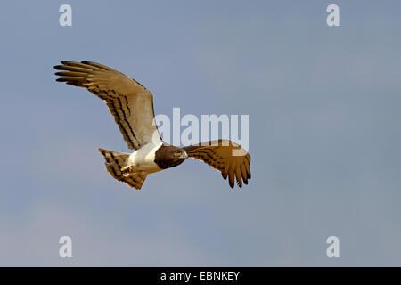 black-breasted snake eagle (Circaetus pectoralis), flying, South Africa, Kgalagadi Transfrontier National Park - Stock Photo