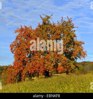common pear (Pyrus communis), single pear tree in autumn, Germany, Swabian Alb - Stock Photo