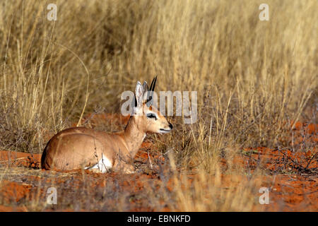 steenbok (Raphicerus campestris), male sitting on the sandy ground in the grassland, South Africa, Kgalagadi Transfrontier - Stock Photo