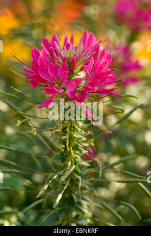 Spirit Damask Cleome, Spider-flower, Pink Queen (Cleome spinosa), blooming - Stock Photo