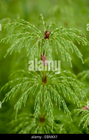 sylvan horsetail, wood horsetail, woodland horsetail (Equisetum sylvaticum), sprout, Germany - Stock Photo