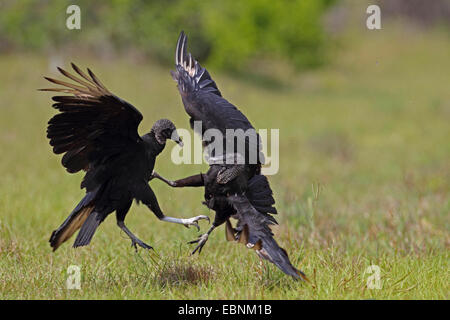 American black vulture (Coragyps atratus), two fighting vultures, USA, Florida - Stock Photo