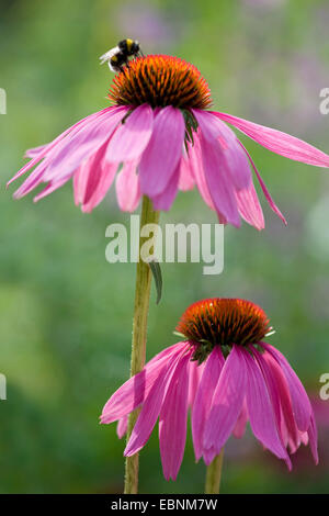 eastern purple coneflower (Echinacea purpurea), blooming - Stock Photo