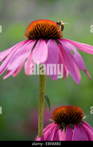 eastern purple coneflower (Echinacea purpurea), inflorescence with bee - Stock Photo